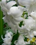 Hyacinth, April 2012