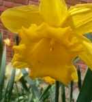 Daffodil, March 2012