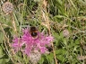 Buff-tailed or early bumblebee